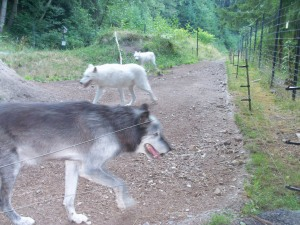 Wolves at Grouse Mountain